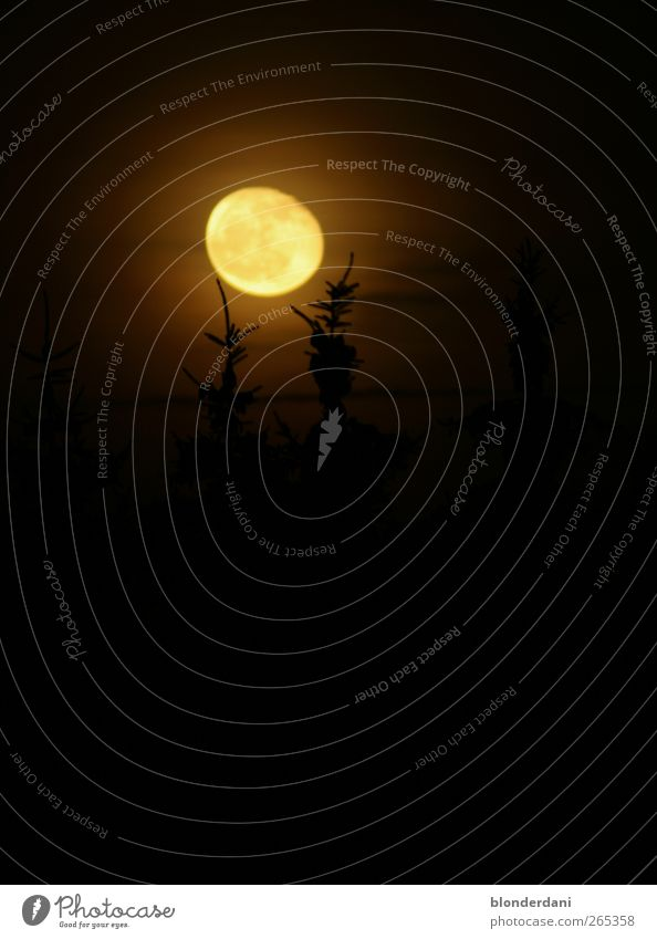 Dunkle Schatten Jagd Nachthimmel Mond Vollmond Herbst Baum Erholung frieren gruselig gold schwarz ruhig träumen Angst geheimnisvoll Natur Mondaufgang Tanne