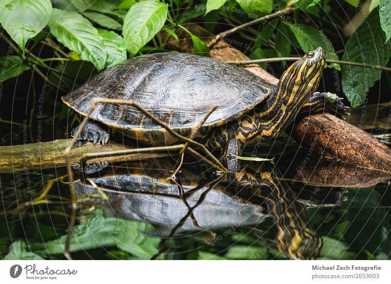 trachemys scripta gelber Schieber Schildkröte am Wasser exotisch Natur Tier Park Teich Haustier Aquarium Schutzschild klein wild weiß eine Amphibie aquatisch