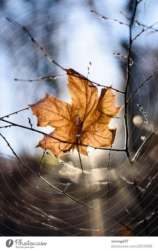 Blatt im Gegenlicht Natur Pflanze Herbst Winter Schönes Wetter Sträucher Wald hängen alt trocken blau braun schwarz Blattunterseite vertrocknet Herbstlaub