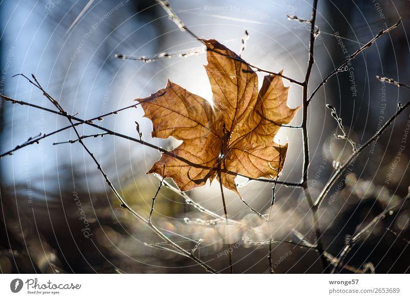 Isolation | in Raum und Zeit Natur Pflanze Herbst Sträucher Blatt Wald alt hängen dehydrieren nah natürlich blau braun weiß ruhig Ahornblatt vertrocknet