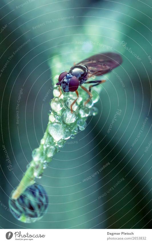 Fliege und Wasertropfen Natur Sommer Pflanze blau grün Tier Blatt Wald Herbst Frühling Wiese Gras klein Garten außergewöhnlich Schwimmen & Baden
