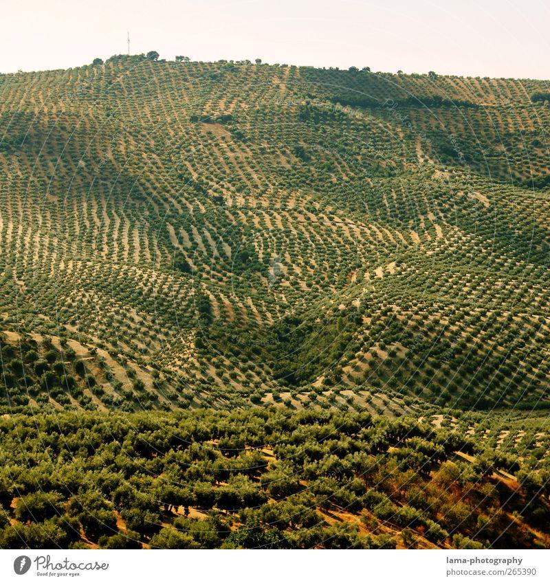 Früchte des Südens [XXXVI] Frucht Oliven Landwirtschaft Forstwirtschaft Landschaft Pflanze Baum Nutzpflanze Olivenbaum Olivenhain Olivenernte Sierra Subbetica
