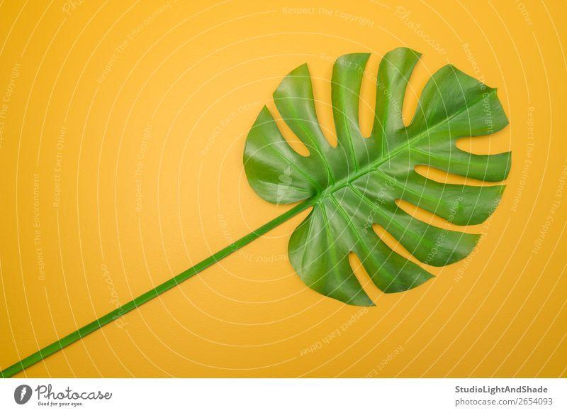 Schönes grünes Monstera-Blatt auf gelbem Hintergrund Design exotisch Freude Glück schön Sommer Innenarchitektur Dekoration & Verzierung Gartenarbeit Natur