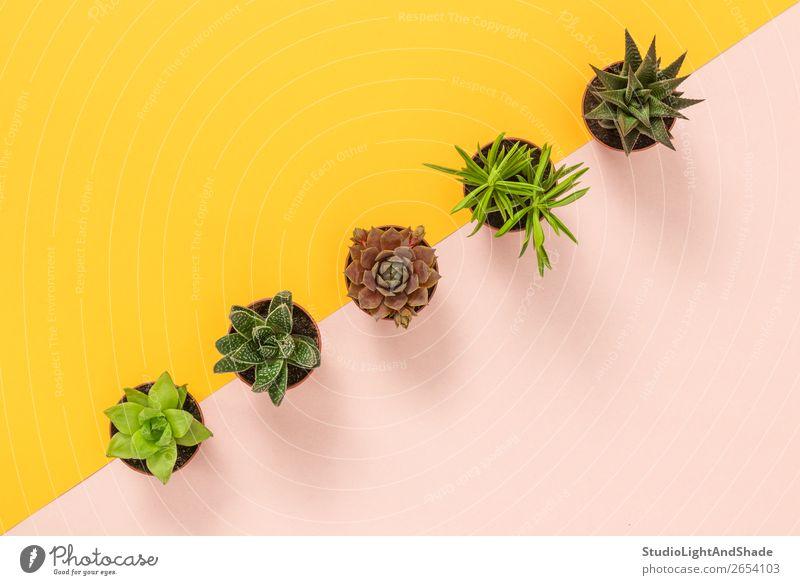 Sukkulente Pflanzen auf gelbem und rosa Hintergrund Topf Design exotisch schön Sommer Innenarchitektur Dekoration & Verzierung Gartenarbeit Natur Kaktus Linie