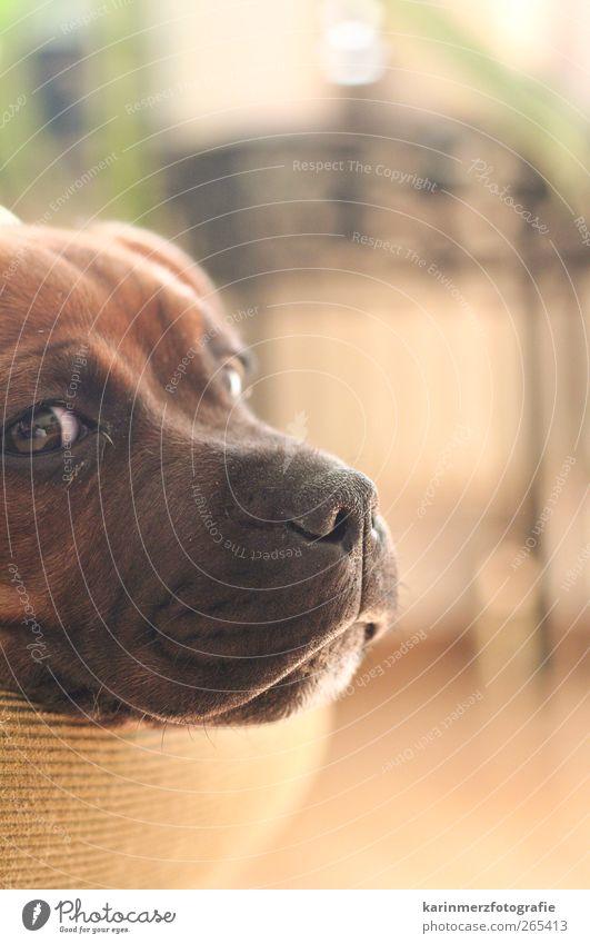 Alles der Nase nach... Haustier Hund liegen schlafen ruhig Zufriedenheit chillen verschmust verträumt staffordshire bull terrier Welpe Innenaufnahme Nahaufnahme