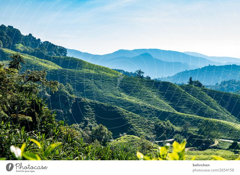 gestern wein heute tee Kontrast Licht Tag Menschenleer Außenaufnahme Farbfoto cameron highlands Fernweh traumhaft Himmel Wald Malaysia grün blau fantastisch