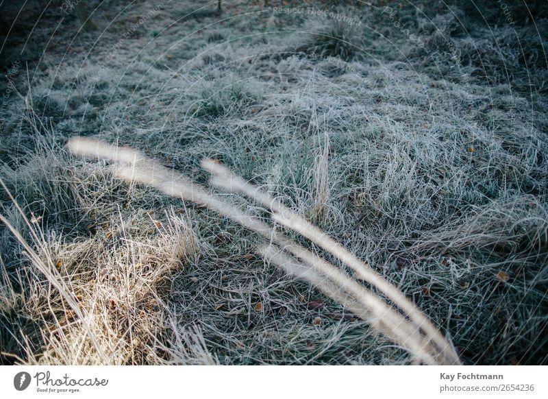 gefrorenes Gras auf einer frostigen Wiese Herbst schön Botanik braun kühl kalt Farbe Dezember Umwelt fallen Flora Laubwerk Frost Boden Raureif Eis eisig Rasen