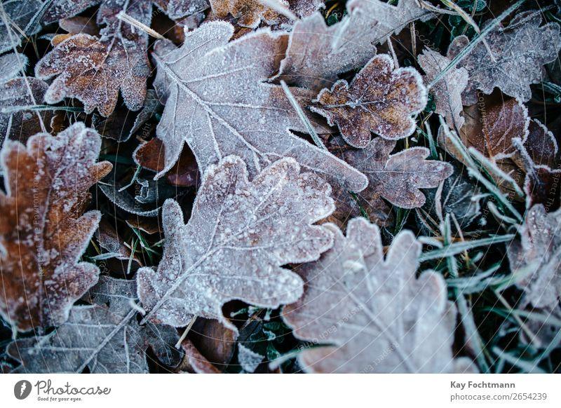 Gefrorene Eichenblätter am Boden Herbst schön Botanik braun kühl Nahaufnahme kalt Farbe Dezember Umwelt fallen Flora Laubwerk Frost frostig gefroren Raureif Eis