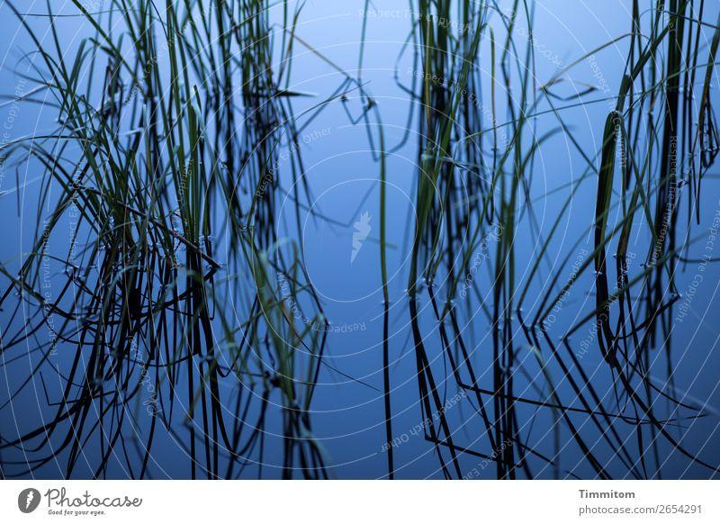 Blauer See mit Halmen (2) Umwelt Natur Pflanze Binsen Wachstum ästhetisch einfach natürlich blau grün schwarz Gefühle ruhig Erholung Farbfoto Außenaufnahme