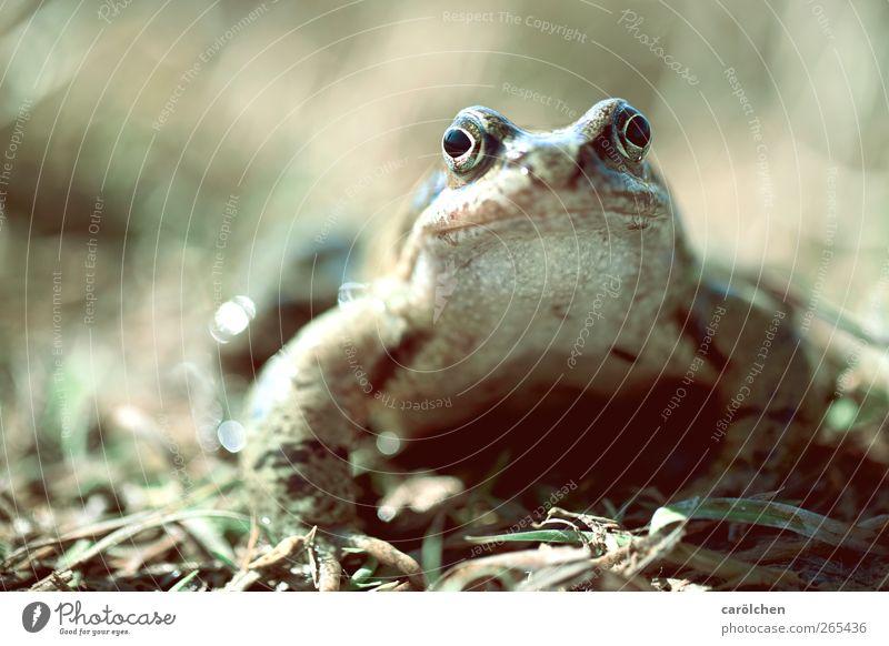 ...ein Prinz. Tier Wildtier Frosch 1 grau grün Froschkönig Kröte Freundlichkeit direkt Farbfoto Gedeckte Farben Detailaufnahme Textfreiraum links