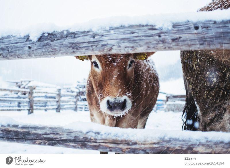Kalb im Winter Natur Landschaft Eis Frost Schnee Kuh Blick stehen kalt niedlich Idylle Klima Leben nachhaltig Perspektive Umwelt Umweltschutz Bauernhof