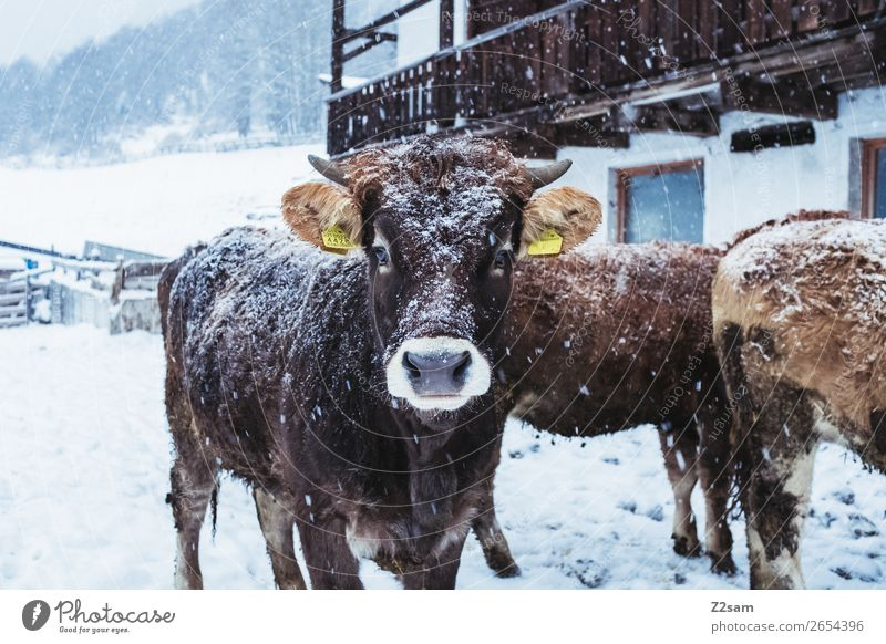 Kalb im Winter Natur Landschaft schlechtes Wetter Schnee Kuh Herde Blick stehen natürlich niedlich Zufriedenheit Neugier Interesse Ferien & Urlaub & Reisen