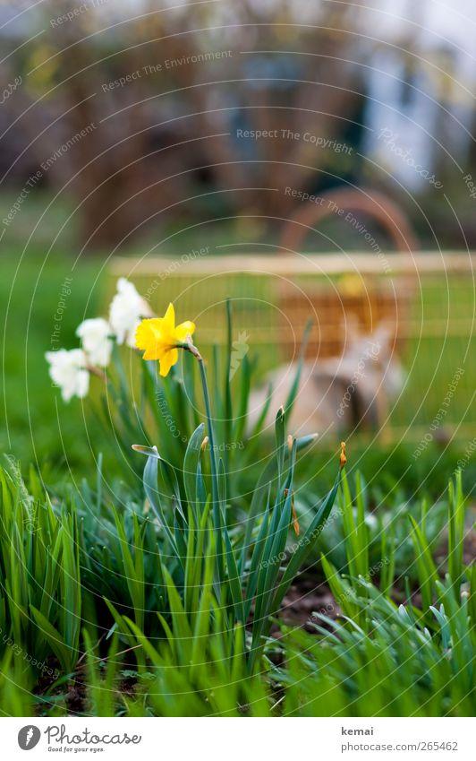 Ostern will be back Umwelt Natur Landschaft Pflanze Frühling Schönes Wetter Blume Gras Blatt Blüte Grünpflanze Gelbe Narzisse Garten Haustier Hase & Kaninchen