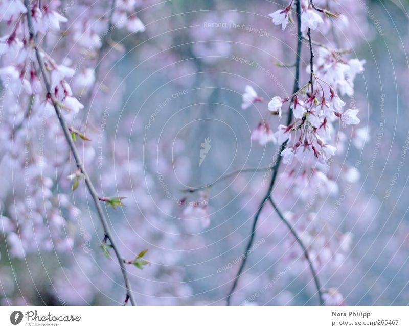dreams in pastell Natur blau Baum Pflanze Blatt Frühling Garten Blüte Park rosa Beginn ästhetisch Wachstum Sträucher Ast Idylle