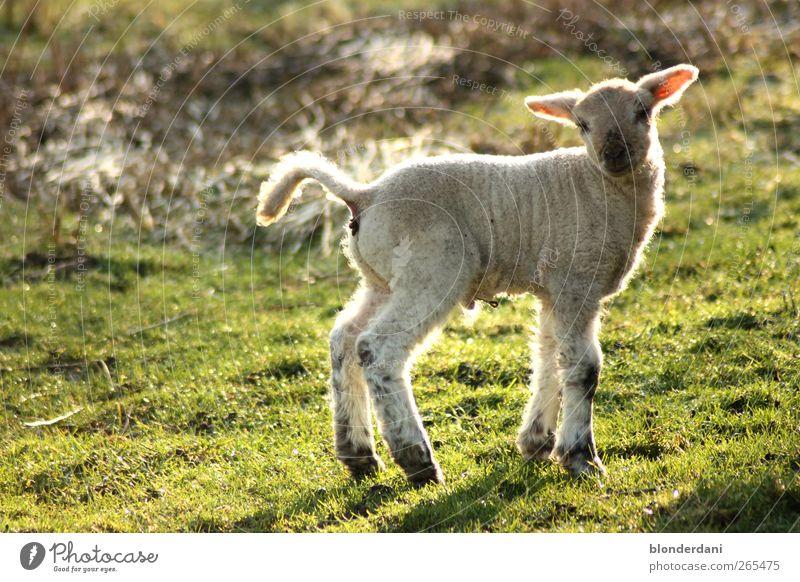 """""""Dolly"""" Wurstwaren Haare & Frisuren sportlich Umwelt Frühling Wiese Feld weißhaarig Haustier Nutztier Schaf Lamm 1 Tier Tierjunges stehen kuschlig dünn"""