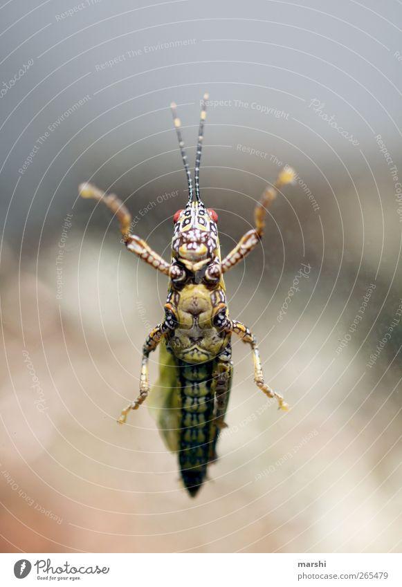 da klebt was... Tier 1 braun gelb Muster Heuschrecke Fühler Beine Ekel kleben frontal Insekt Insektenschutz bauchansicht Froschperspektive Farbfoto