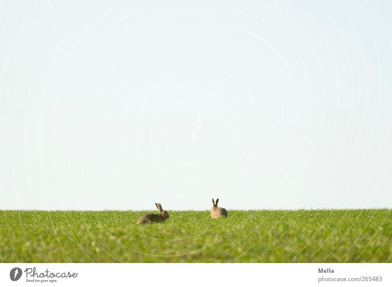 Ostern naht Osterhase Umwelt Natur Landschaft Tier Frühling Wiese Feld Wildtier Hase & Kaninchen Hasenohren 2 Tierpaar Fressen hocken sitzen frei Zusammensein