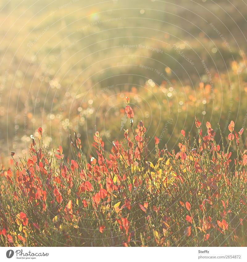 November vibes Natur Pflanze schön grün Landschaft Herbst gelb Wiese orange glänzend Sträucher Schönes Wetter herbstlich nordisch Lichtschein