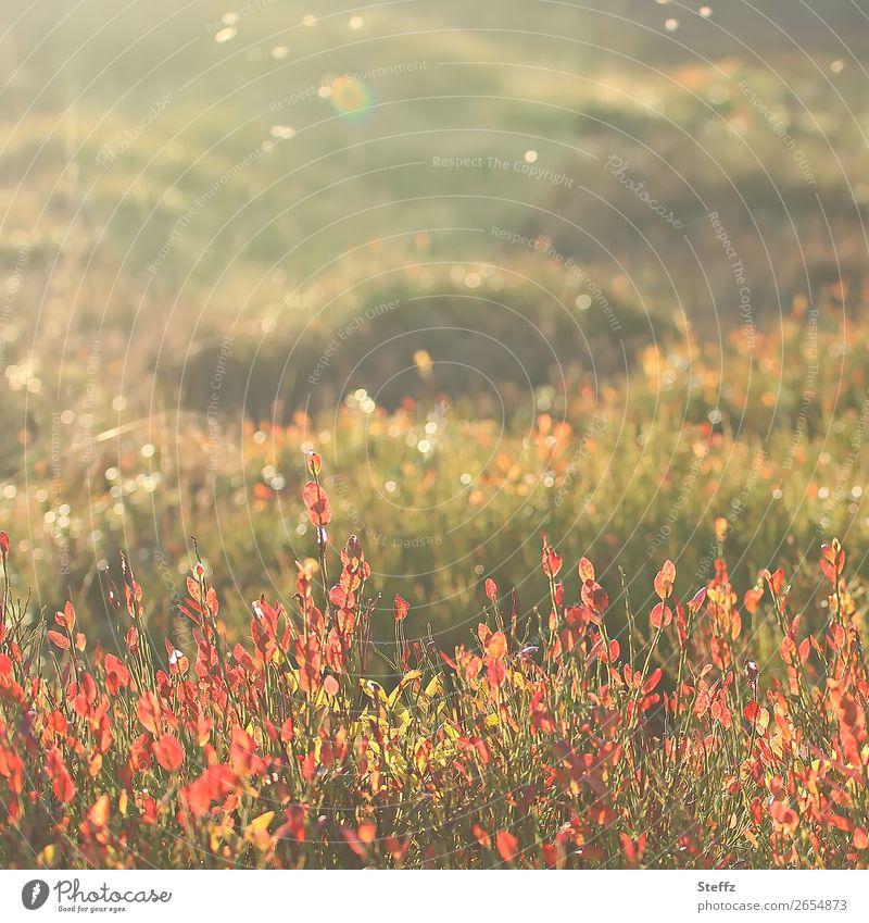 Autumn vibes Heide nordisch Gegenlicht Natur November Pflanze orange Lichtstimmung Warme Farbe Herbst Herbstwetter Herbstgefühle Schönes Wetter lichtvoll