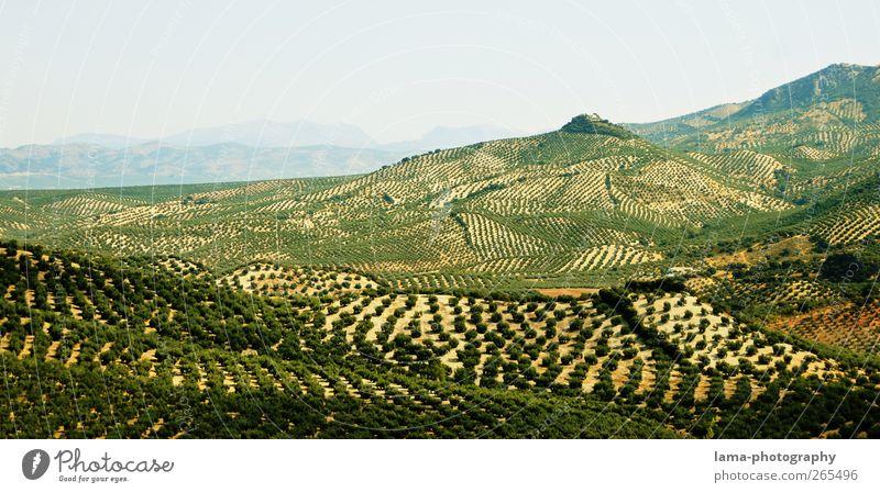 Sierra Subbética [XXXVII] Oliven Olivenöl Landwirtschaft Forstwirtschaft Natur Landschaft Baum Nutzpflanze Olivenbaum Feld Hügel Olivenhain Olivenernte Cordoba
