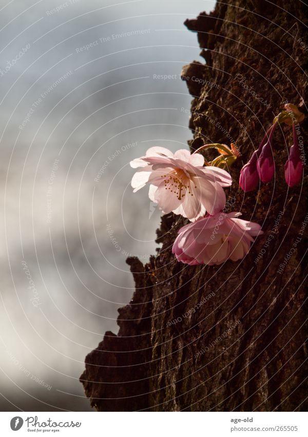 even old wood creates spring fever Natur Pflanze Frühling Schönes Wetter Baum Mandelbaum beobachten authentisch braun gelb grün rosa weiß Zufriedenheit