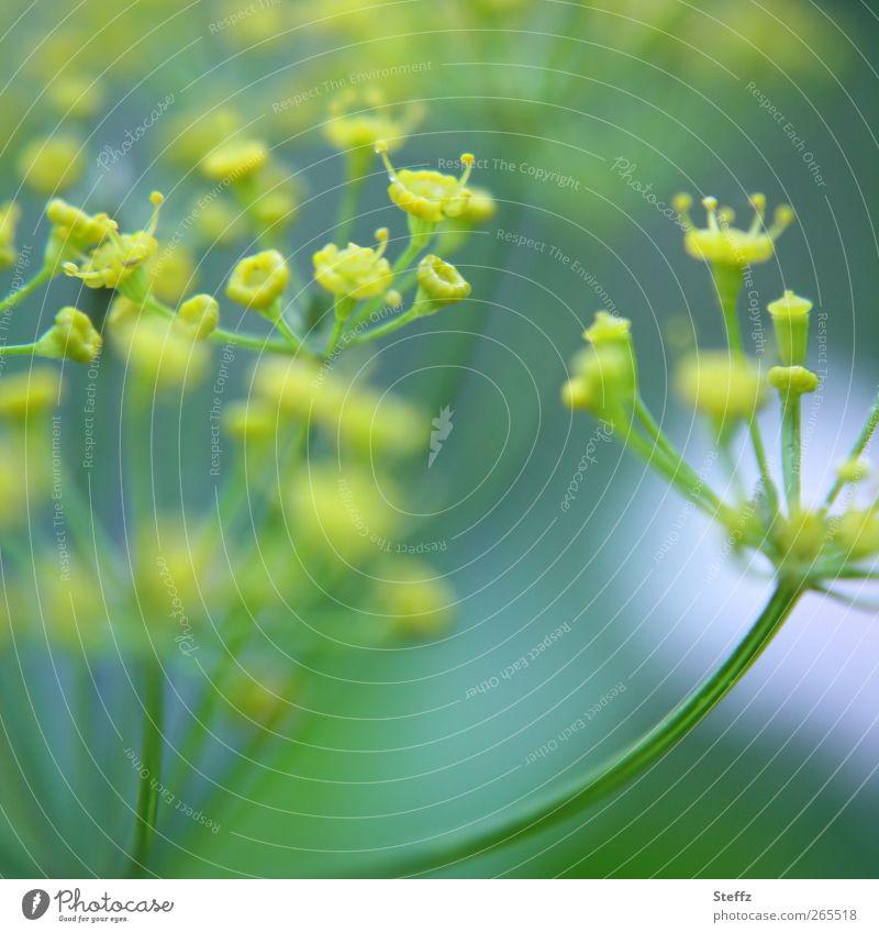 Kräuter Lebensmittel Gemüse Kräuter & Gewürze Dill Bioprodukte Vegetarische Ernährung Gesunde Ernährung Natur Pflanze Nutzpflanze Dillblüten Gartenpflanzen