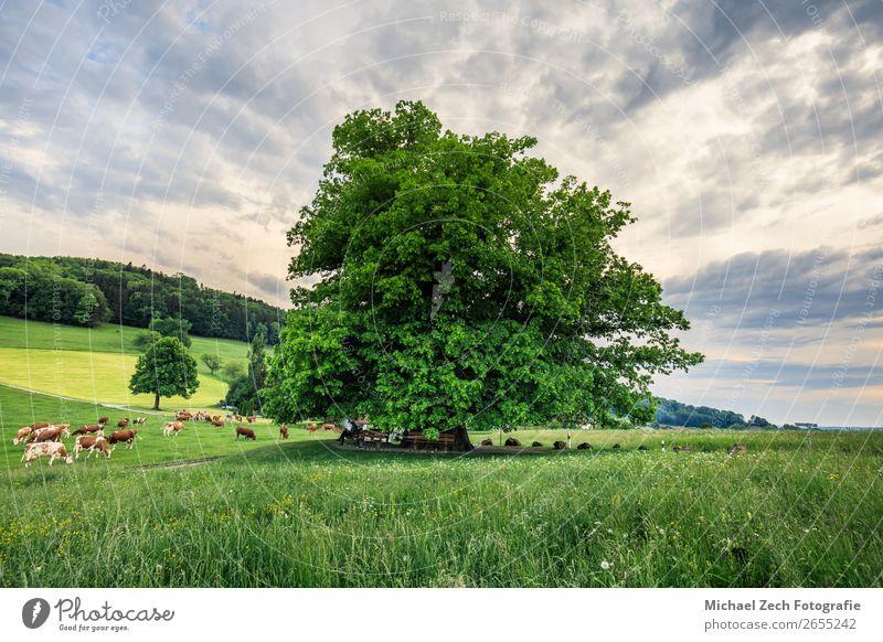 Erstaunliche alte Linde unter spektakulärem Himmel hdr schön Sommer Sonne Natur Landschaft Pflanze Wolken Baum Gras Blatt Wiese Straße Wege & Pfade frisch hell