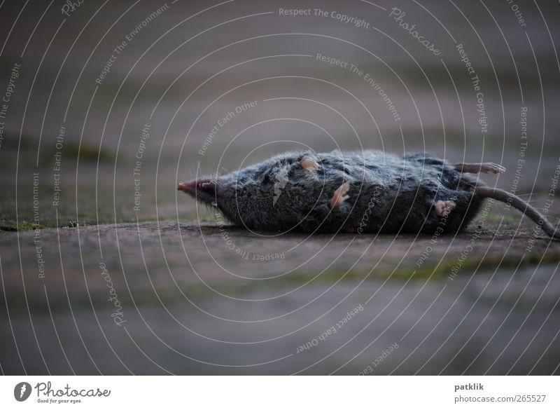 Katerfrühstück Tier Tod grau Fuß liegen trist Vergänglichkeit dünn Maus Schwanz Katzenfutter Seitenlage