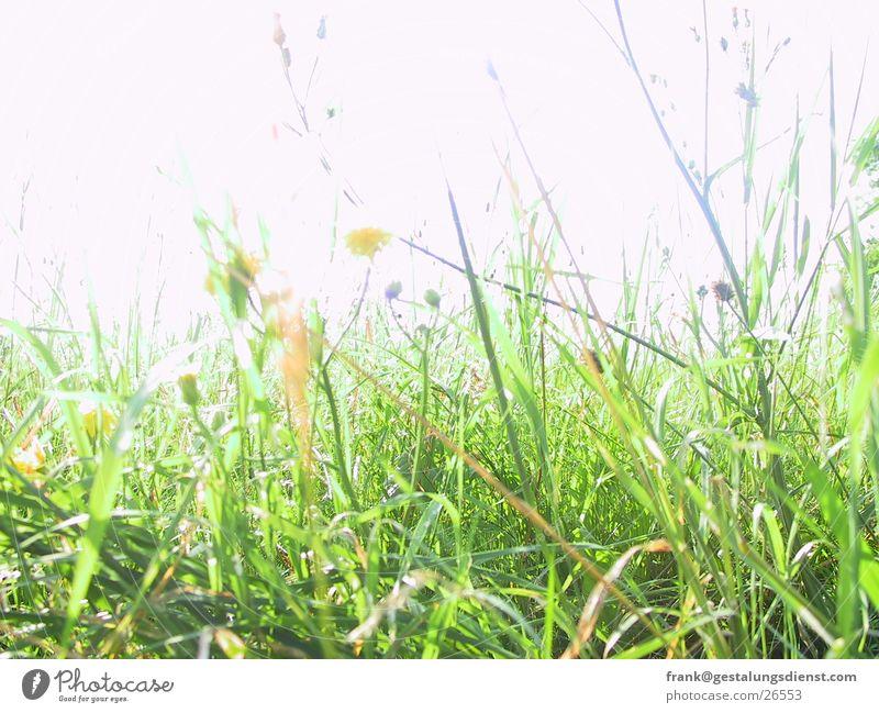 Blumenwiese grün Sommer Blume Wiese Gras Biene