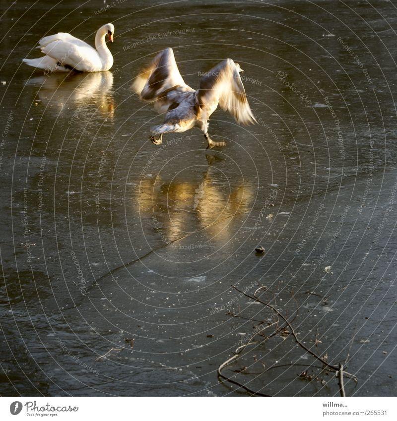 Schwanensee als Eistanz Winter Frost Teich See Flügel 2 Tier Tierjunges rennen lustig Bewegung Reflexion & Spiegelung Eisfläche gefroren Abheben Versuch Beginn