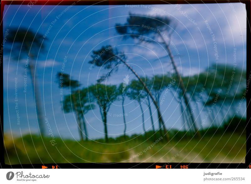 Weststrand Umwelt Natur Landschaft Pflanze Baum Küste Ostsee Darß außergewöhnlich natürlich wild Stimmung träumen Wind Windflüchter Neigung Farbfoto