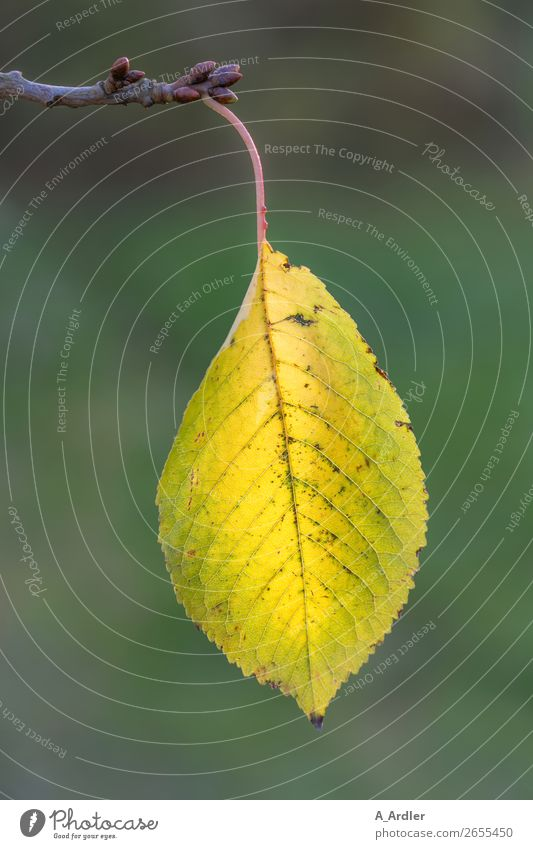 Herbstblatt Natur Pflanze Blatt Grünpflanze Nutzpflanze Wildpflanze Ast Zweige u. Äste Garten Park Wald hängen nah gelb grün Blattadern Kirschbaum Unschärfe