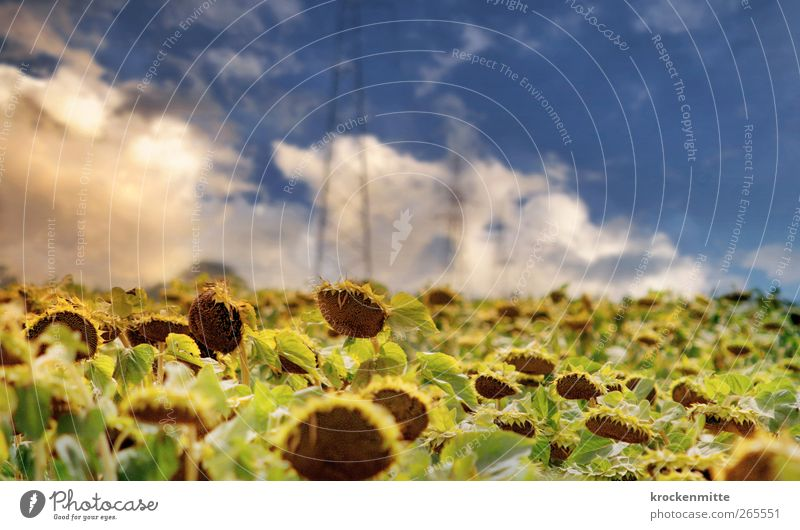 Toskanatraum Natur Landschaft Himmel Wolken Gewitterwolken Horizont Sommer Pflanze Sonnenblume Wärme blau gelb Sonnenblumenfeld Blatt grün Strommast