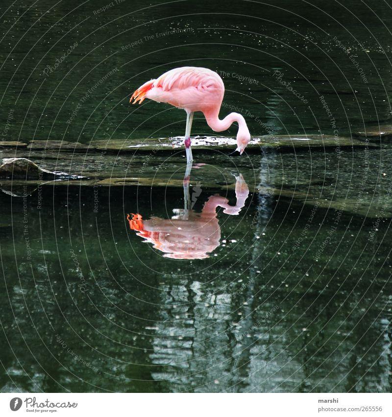 FlamingoDouble Natur Landschaft Pflanze Tier Park Küste See Bach Zoo 1 rosa Wasseroberfläche Reflexion & Spiegelung Fressen paarweise Farbfoto Außenaufnahme Tag