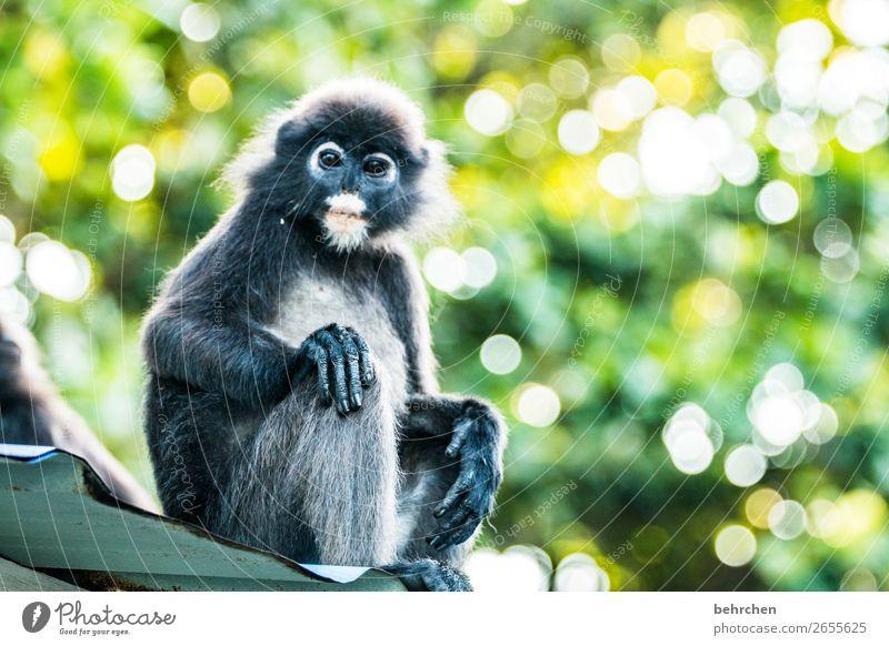 affenleben Ferien & Urlaub & Reisen Tourismus Ausflug Abenteuer Ferne Freiheit Urwald Wildtier Tiergesicht Fell Affen brillenlanguren 1 beobachten Erholung