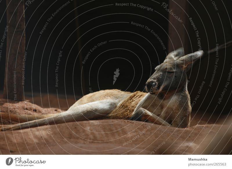 Chillout Ferien & Urlaub & Reisen Abenteuer Safari Erde Sand Tier Tiergesicht Fell Pfote Zoo Känguruh 1 Stein atmen Denken Erholung genießen liegen schlafen