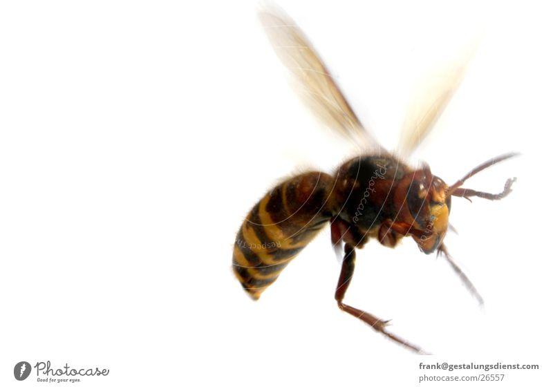 Hornisse Hornissen Wespen Insekt gefährlich stechen Makroaufnahme Nahaufnahme bedrohlich Gift Luftverkehr Flügel agressiv Bewegung