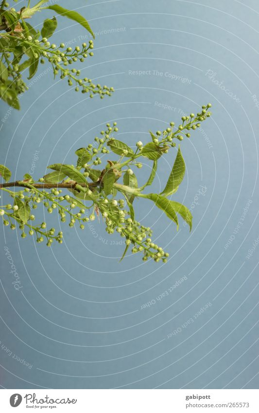Oesterliche Grüße Umwelt Natur Frühling Schönes Wetter Pflanze Baum Sträucher Blatt Blüte Grünpflanze exotisch Blühend Duft Fröhlichkeit frisch positiv blau