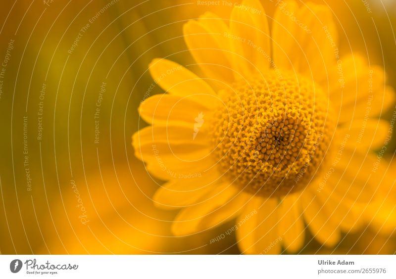 Färberkamille (Anthemis) Natur Sommer Pflanze Farbe Blume Erholung ruhig Hintergrundbild Leben Herbst gelb Blüte Zufriedenheit Dekoration & Verzierung elegant