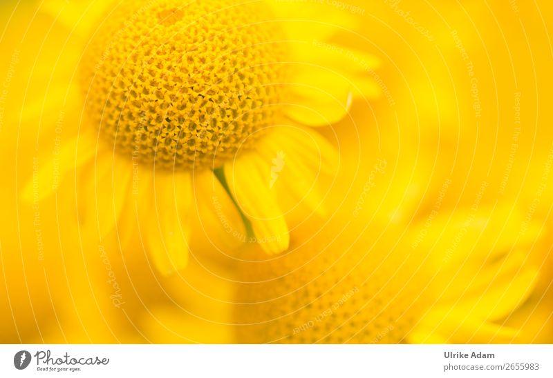 Färberkamille (Anthemis) Design Alternativmedizin Wellness harmonisch Spa Tapete Valentinstag Geburtstag Natur Pflanze Frühling Sommer Herbst Blume Blüte Garten