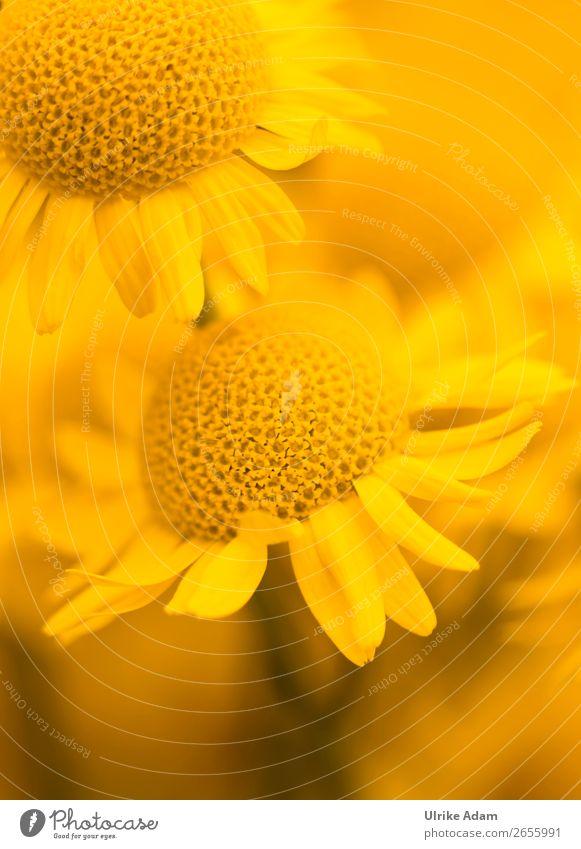 Sommer-Blumen Natur Pflanze Farbe Erholung ruhig Leben Herbst gelb Blüte Feste & Feiern Zufriedenheit leuchten Geburtstag Hochzeit