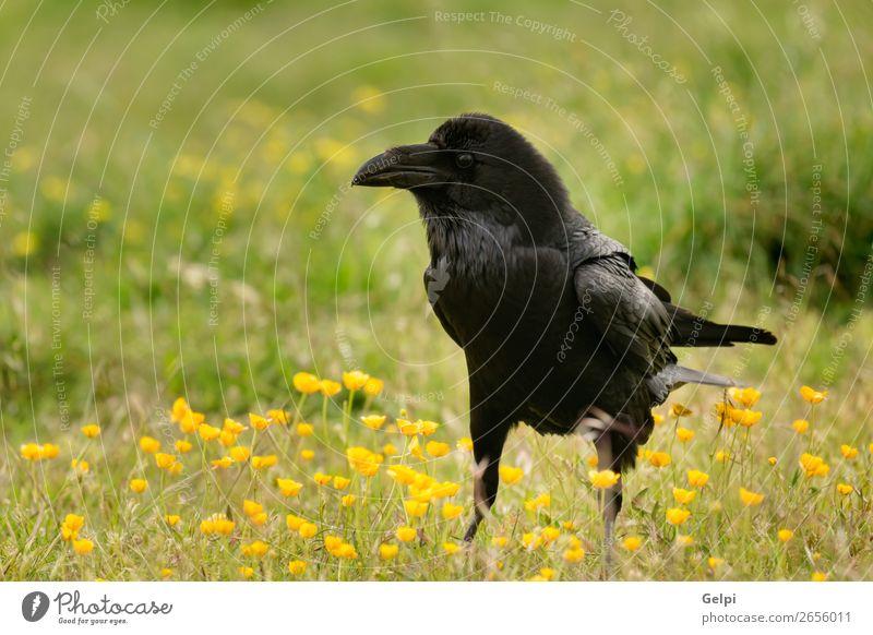 Schwarze Krähe umgeben von gelben Blumen Natur Tier Park Totes Tier Vogel beobachten fliegen stehen dunkel hell wild schwarz Rabe Tierwelt Schnabel Feder
