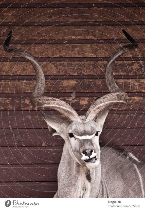 geschraubt Tier grau braun liegen Zoo Horn Antilopen