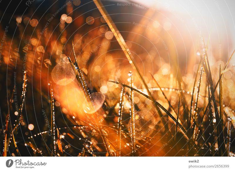 Gras, Licht und Wasser Umwelt Natur Pflanze Wassertropfen Schönes Wetter Sträucher Halm Wiese glänzend leuchten nah nass Idylle leuchtende Farben Farbfoto