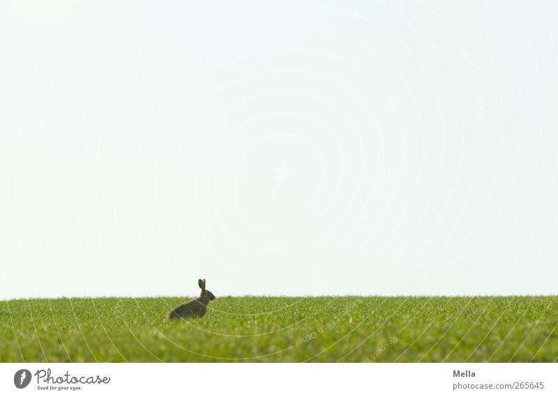 Last Rabbit standing Natur blau grün Tier Umwelt Landschaft Wiese Freiheit Frühling Feld Wildtier sitzen natürlich frei Ostern niedlich