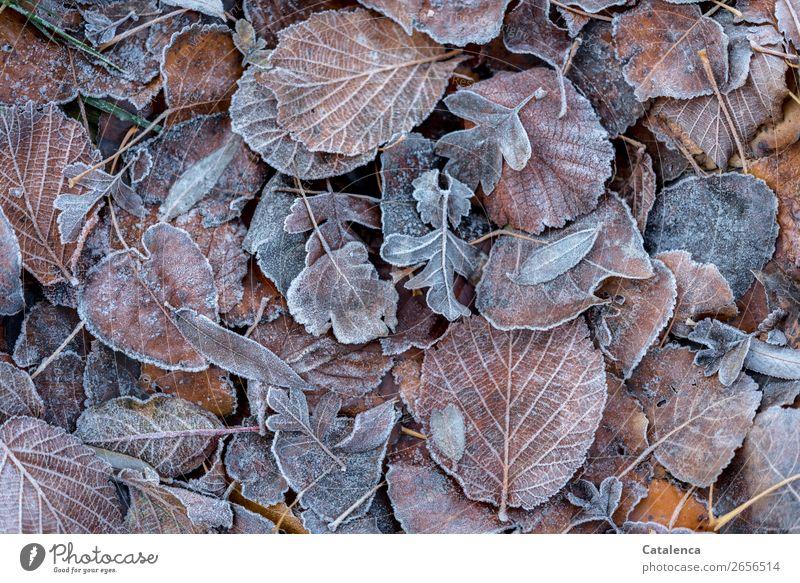 Laub und Raureif Natur Pflanze Blatt ruhig Wald Winter kalt Garten orange braun Eis Wandel & Veränderung Jahreszeiten Frost silber frieren