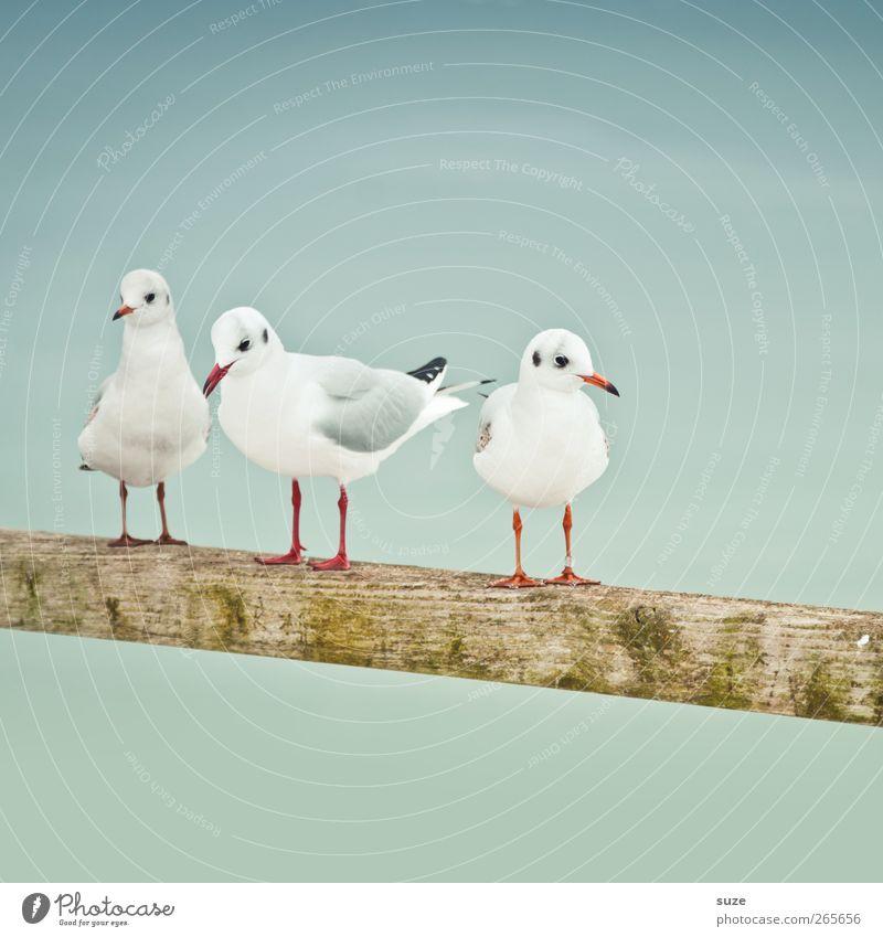 Möwentreff ruhig Umwelt Natur Tier Urelemente Luft Himmel Wolkenloser Himmel Wildtier Vogel Flügel 3 Tiergruppe Holz stehen warten kalt klein niedlich weiß