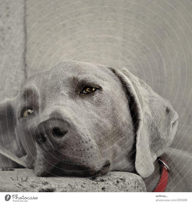 Hund lehnt schläfrig seinen Kopf auf einen Stein. Weimaraner Tier Haustier Tiergesicht Fell Hundeschnauze Hundeblick Hundekopf Hundehalsband Treppe beobachten