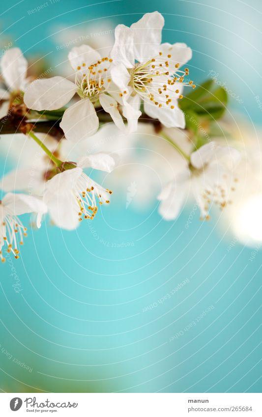 Blütenfoto Natur blau weiß Blatt Frühling hell natürlich Blühend türkis Zweig Frühlingsgefühle Frühlingsfarbe