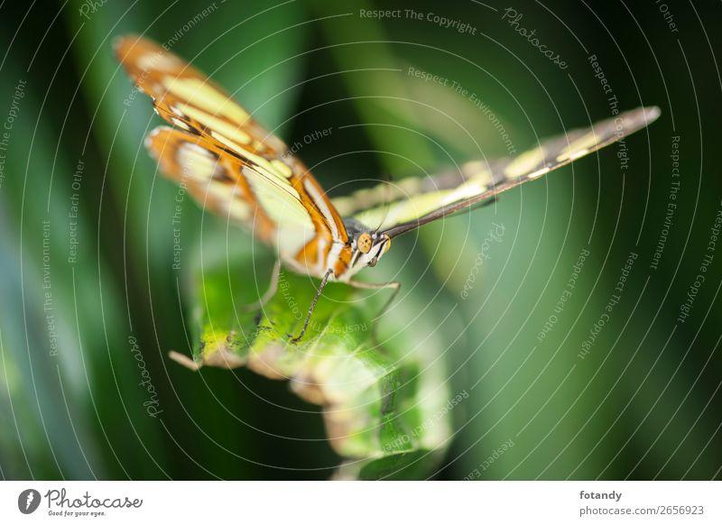 Front view of Siproeta stelenes near_Malachitfalter Natur Tier Wildtier Schmetterling Flügel 1 dünn mehrfarbig gelb grün frontal Insekt Edelfalter Tarnung